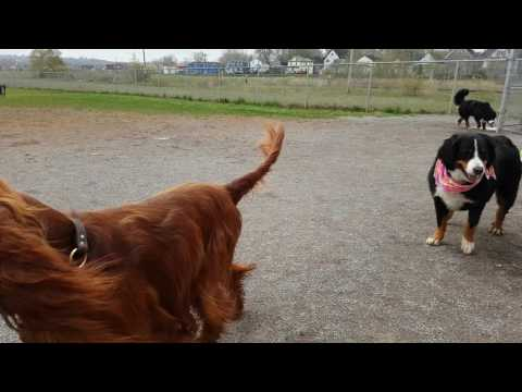 Max our Bernese Mountain Dog at the dog park with his friends