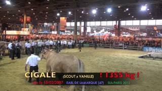Cigale, la vache la plus lourde de l'histoire du SIA
