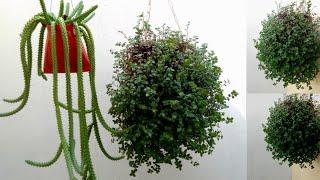 Plantas Pendentes de Crescimento Rápido