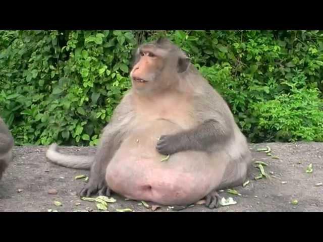 fat monkey (ลิงอ้วนๆ) ^-^