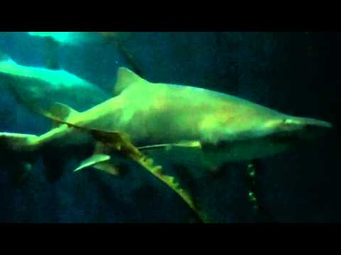 On Location: The Sand Tiger Shark