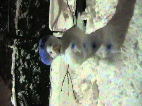 Building a Blue Afro Snowman 2011