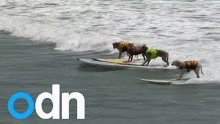 Surfing dogs in California competition