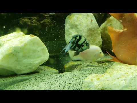 220 UPDATE | Blue Tiger Parrotfish × Pink Convict Cichlid = Lots Of BABIES...