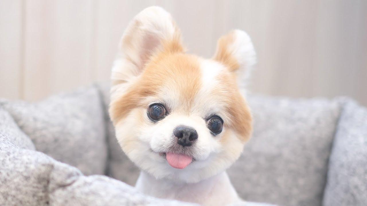 ボディを2ミリにカットしたらリスとか小動物にしか見えない老犬チョッピ