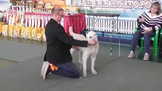 выставка собак, среднеазиатская овчарка - Алабай, щенки