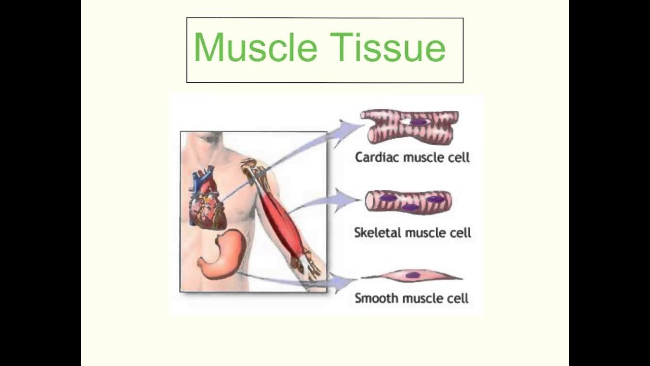 Cells Tissues Organs Systems