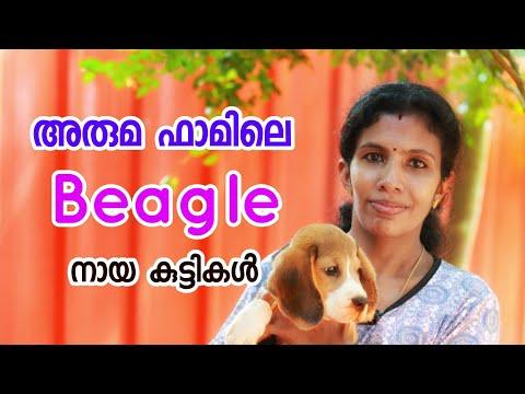 അരുമ ഫാമിലെ ബീഗിൾ [ECO OWN MEDIA] Beagle puppys