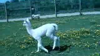 Baby alpaca chases dog