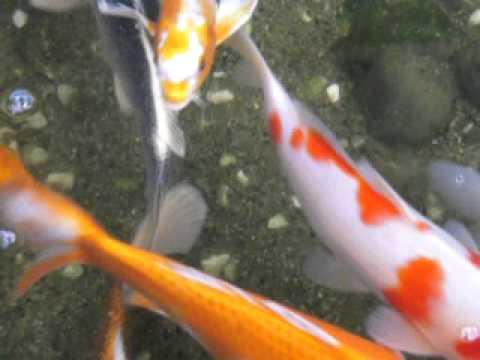 Poissons magnifiques dans un bassin youtube for Alimentation poisson rouge dans un bassin