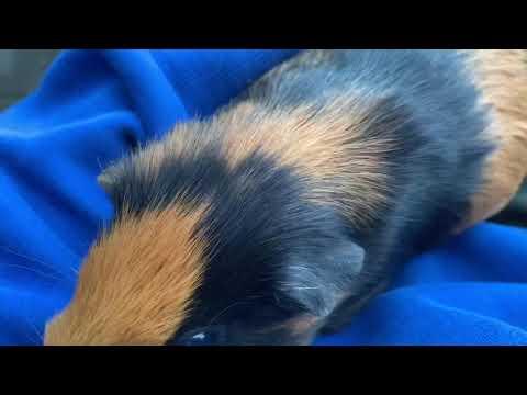 Cavia verblijf verschonen.. en alfy naar de dierenarts?? BEST PIGGIES #2