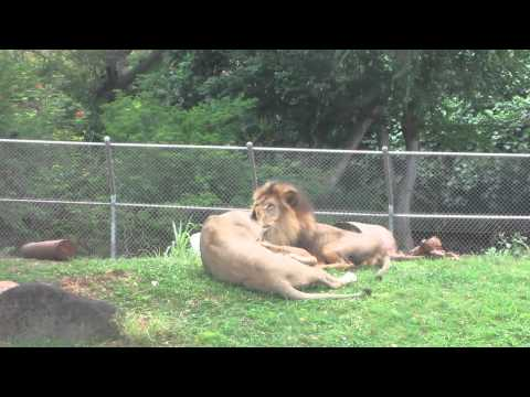 Lion parents play with new cubs at the Honolulu zoo