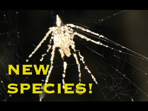 FIRST VIDEO OF NEW SPIDER SPECIES!