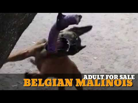 Belgian Malinois Adult Male Available (India) Karnataka. Belgian Malinois Puppies also for Sale.