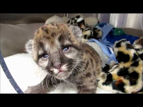 Rescued Florida Panther Kitten