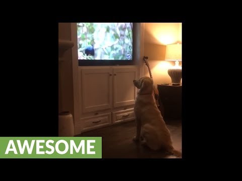 Dog totally mesmerized by wildlife documentary on TV