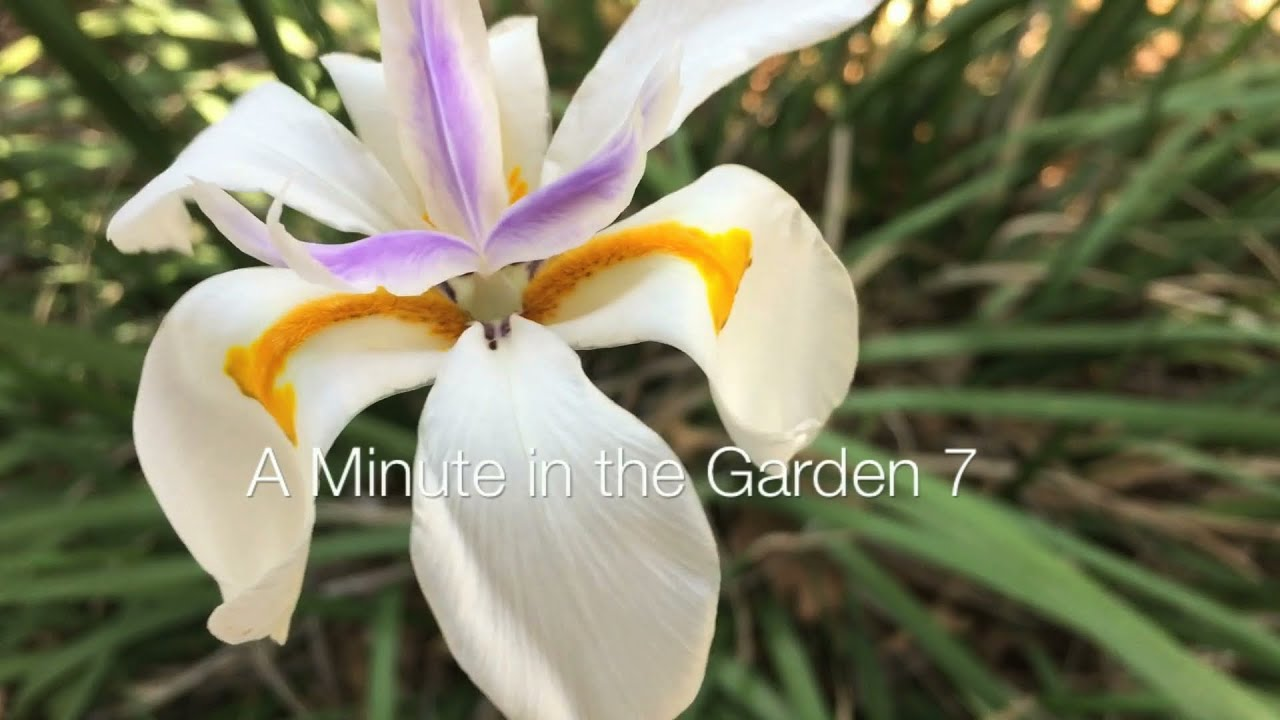 Fortnight Lily Dietes A Minute In The Garden 7 From A Gardeners