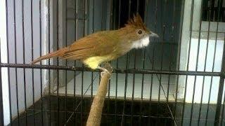 Gambar cover Burung Master : Cucak Jenggot Mapan Gacor