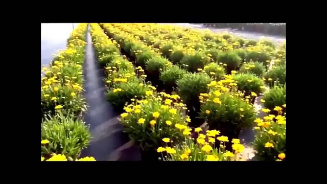 Best Perennials Coreopsis Early Sunrise Tickseed Youtube