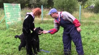 Дрессировка черных терьеров ЗКС 1, как включать собак в игру