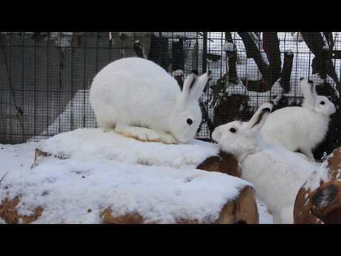 Вопрос: Везде ли зайцы белеют на зиму?