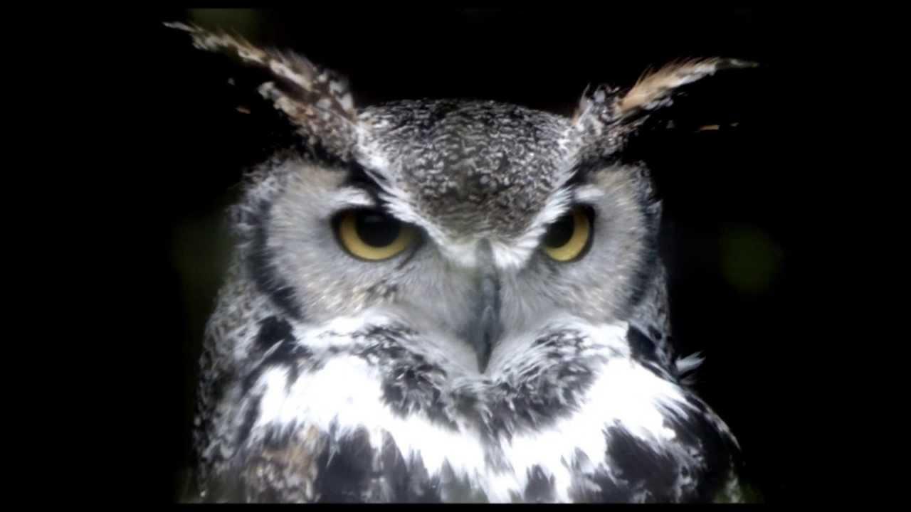 Owls with big eyes YouTube