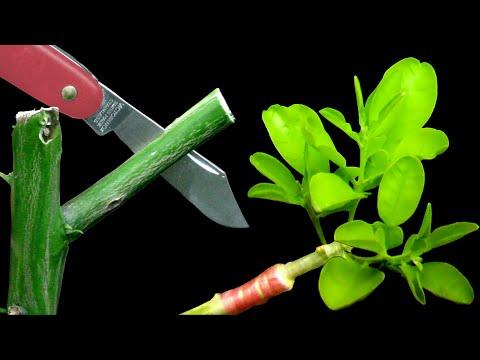 Injertos de árboles frutales - Cómo Injertar Cítricos con Éxito mediante el Injerto de Hendidura