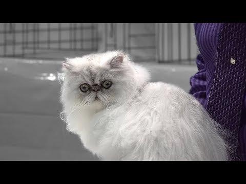 CFA International Cat Show 2017 - Persian silver kittens