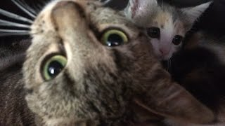Funny Video - Little kitten show no fear and fight an adult cat.