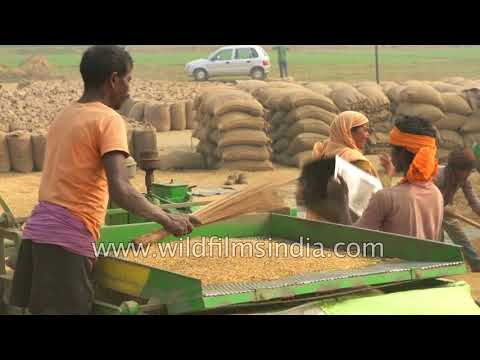 Mechanised Harvesting For Rice Paddy In India