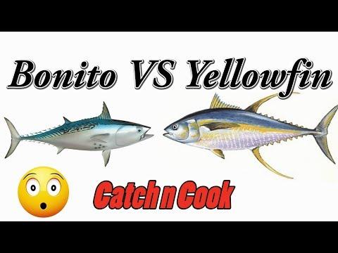 Catch and Cook Yellowfin Tuna vs Bonito (AKA Little Tunny)