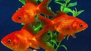 Aquarium Fish || Lovely Aquarium Fish || Gold Fish Types at Lovely Aquarium Fish