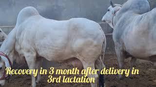 Saraswati  A big cow in Haryan…