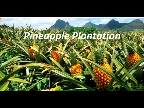 How Pineapple Plantation is done