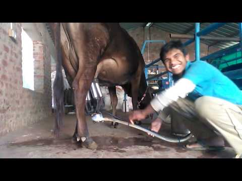 Milking Process in Nandini Dairy Delights