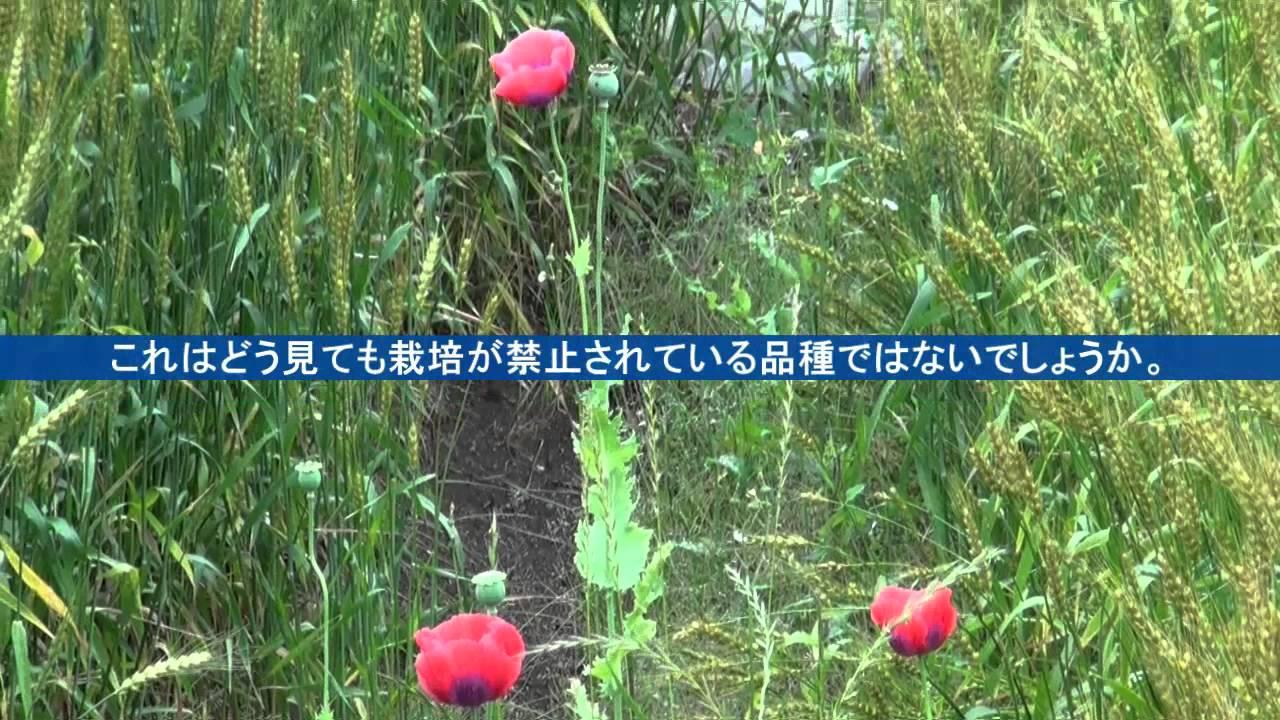 花 ケシ 自生 の