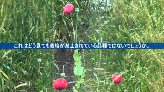 麦畑に咲いた野生のケシの花