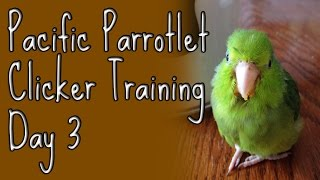 Ellatheparrotlet: Pacific Parrotlet Clicker Training Day 3