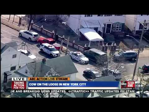 Running of the bull: NYPD chases bull through Queens streets