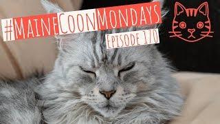 #MaineCoonMondays – Episode 170