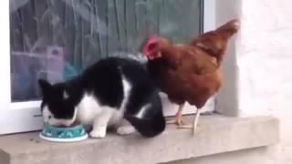 Kucing vs ayam lucu kocak