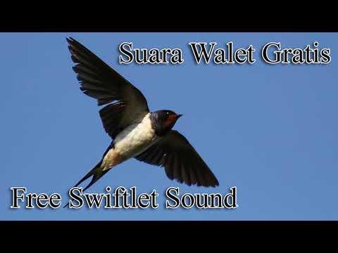 Suara Inap Burung Walet SUPER ABADI