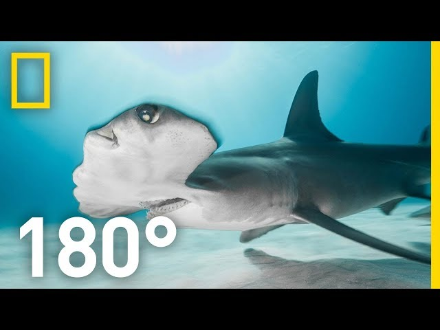 Shark Encounter in 180: Worth More Alive   National Geographic