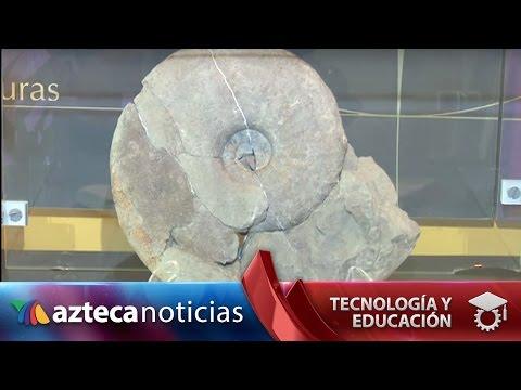 Chiapas es cantera de fósiles: hallan cinco ammonites