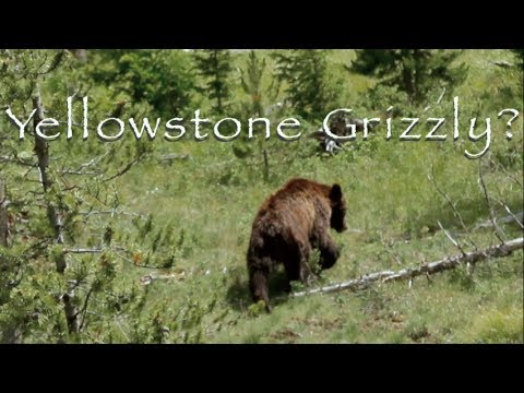 Yellowstone  Grizzly Video (HD)