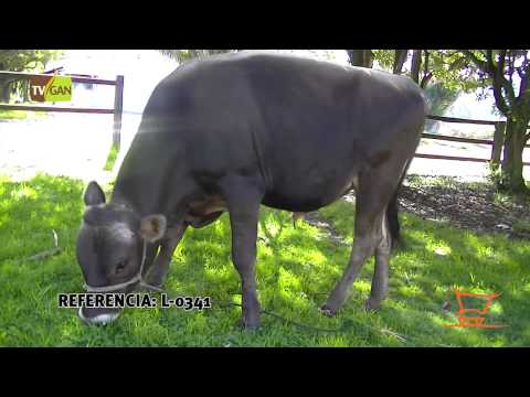 2015: MACHO COMERCIAL APTO PARA LA REPRODUCCIÓN, PESO PROM/ANIMAL  340 KG TENJO-CUNDINAMARCA, L-0341