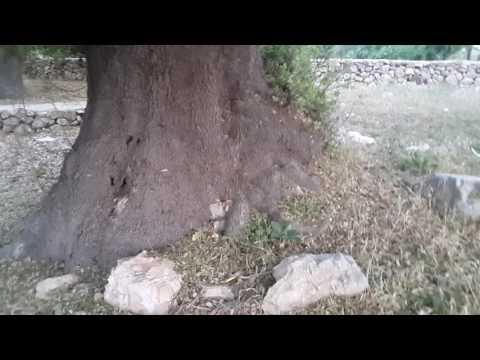 شجرة يزيد عمرها عن الف سنة في بيت اكسا