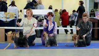 Монопородная выставка собак в Москве 13.12.2015, Йоркширский терьер