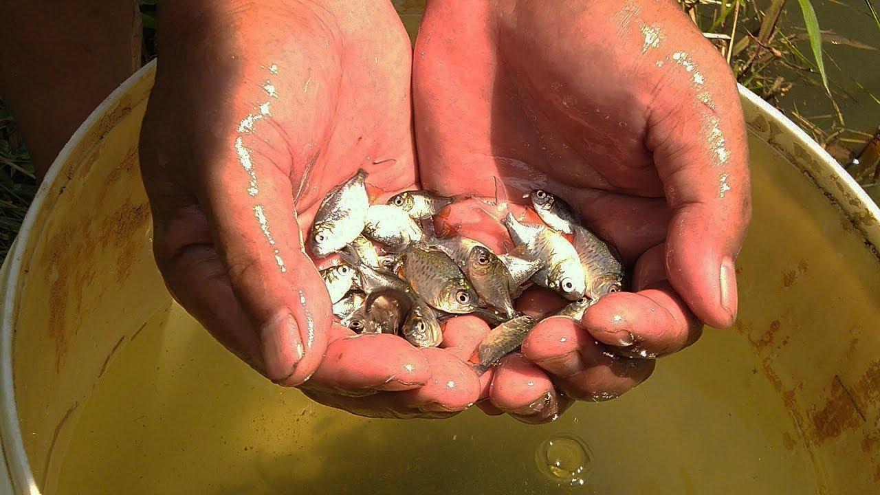 Budidaya Ikan Bawal Di Keramba Tebar 500 Bibit Youtube
