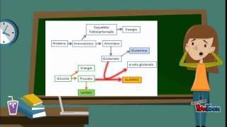 ciclo de glucosa-alanina